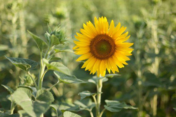 G.C. Rutteman & Co. B.V.   Sunflower oil